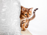 Bengal kitten creeps round cold bag of ice to keep cool