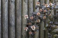 Blühender Teufelsstrauch (Physocarpus opulifolius) vor einem Holzzaun