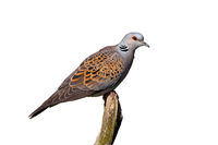 European turtle dove sitting on branch isolated on white background.