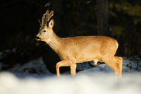 Roe deer buck walking on snowy forest in wintertime nature.