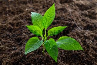 Paprika-Pflanze im Gemüsegarten
