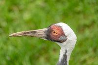 A White-naped crane portrait