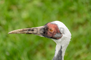 A White-naped crane portrait