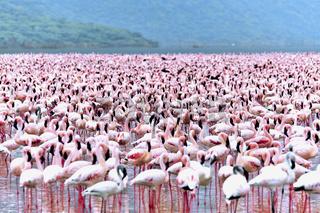 Rosa Zwergflamingos am Bogoria See, Rift Valley