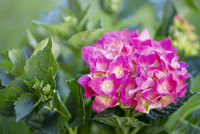 Beautiful pink hydrangea blooming in summer