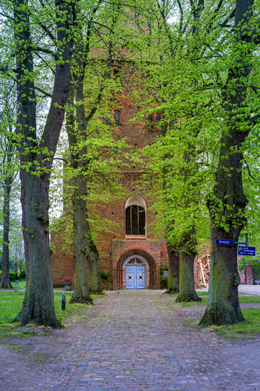 Old linden trees (Tilia) in the church square