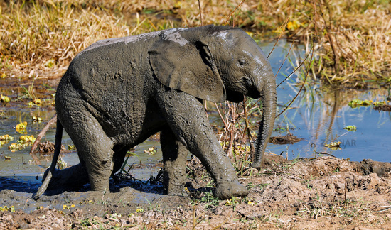 young Elephant in the mud at South Luangwa National Park, Zambia, (Loxodonta africana)