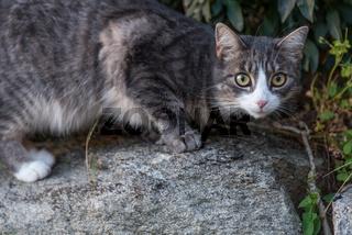 Hauskatze sucht im Freien auf Beute - erschrockener Blick