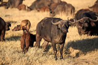 a group of Buffaloes  in the Ngorongoro crater in Tanzania