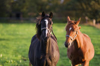 Dark and light brown horses