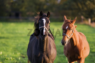 Dark and light brown horses