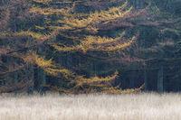 Laerchenwald im Herbst am Rand einer Waldwiese / Larch forest in autumn / Lohfiert - Schleswig-Holstein