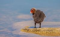 Coot  'Fulica atra' young bird