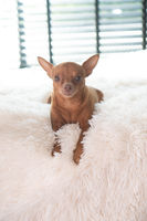 Small cute dog on the bed at home
