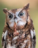 Screech owl eating chicken