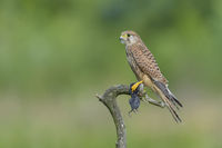 Turmfalke, Falco tinnunculus, Common Kestrel