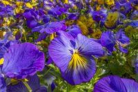 pansy flowers closeup