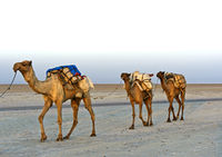 Dromedaries of a caravan on the Assale salt lake, near Hamadela, Danakil Depression, Ethiopia