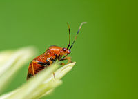 Macro of a Red Soldier Beetle
