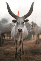 White African cow with huge horns