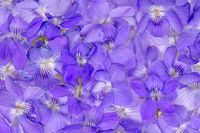 Background made of small, violet flowers without a stem or leaves