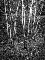 blac kand white trees in a forest