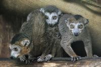DSC7099JX-Lemuren.jpg