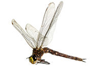 Large dead dragonfly lies on its side with outstretched wings against a white background