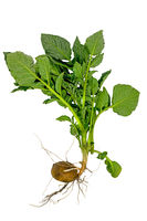 Whole young potato plant with tuber and leaves isolated on white