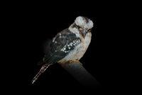 Kookaburras, terrestrial tree kingfishers