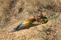 A couple of bee-eaters in their nest in the ground