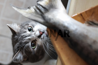 A hungry cat looks at the tail of a fish on the kitchen table. A pet steals food from the table.