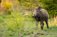 Wild boar standing on a meadow with green bush in springtime nature