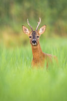 Alert roe deer buck looking into camera from front view on a meadow in summer