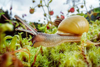 Snail slowly creeping along super macro close-up