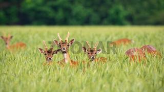 Fallow deer herd feeding on a grain field in summer nature.