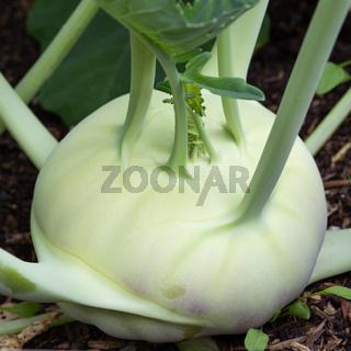 Harvest season, Turnip cabbage