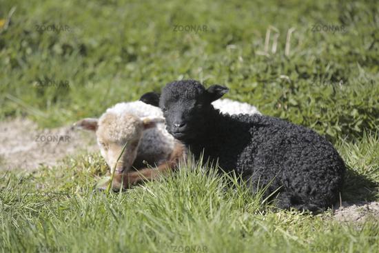 Ragged sheep, Ovis aries strepsiceros Hungaricus