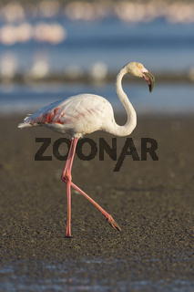 European Flamingo