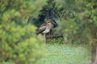 bush stone-curlew or bush thick-knee (Burhinus grallarius) australia