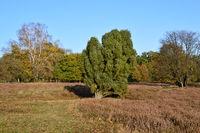 Tietlinger Heath in the Lueneburger Heath in Autumn, Lower Saxony