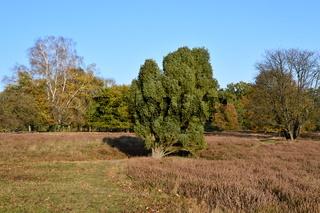 Tietlinger Heide in der Lüneburger Heide im Herbst, Niedersachsen