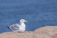 Moewe sitting on a granite rock, Brittany