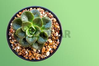 Succulent plant close-up Echeveria Melaco in the Ceramic pot
