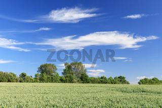 Blauer Himmel mit Wolken über Getreidefeld im Frühling
