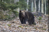 Braunbaer, Ursus arctos, brown bear