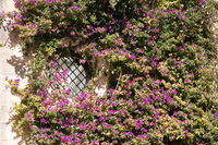 Mass of Purple flowers covering leaded window