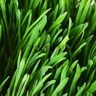 The green grass close up