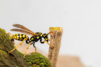 Side view of a crawling field wasp on the leaf margin