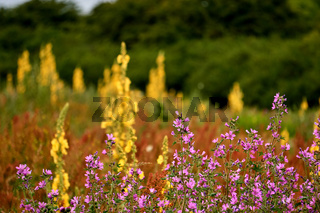 pink mallow in front of yellow mullein meadow